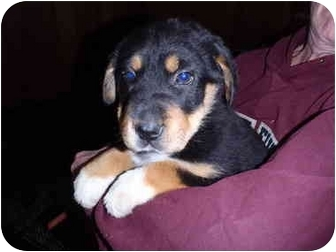 Bernese Mountain Dog Mix Puppy for adoption in Bel Air, Maryland - Sky