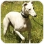 Photo 4 - Greyhound/Whippet Mix Dog for adoption in Santa Rosa, California - Clay