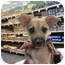 Photo 4 - Chihuahua/Dachshund Mix Puppy for adoption in Detroit, Michigan - Itsy-Pending