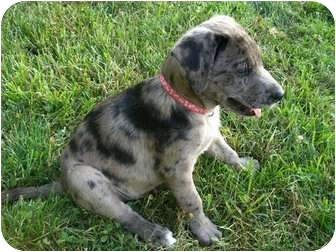 Catahoula Leopard Dog Mix Puppy for adoption in Windham, New Hampshire - Kamo