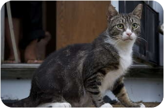 Domestic Shorthair Cat for adoption in New Egypt, New Jersey - Big MaMa