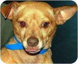 Basenji/Miniature Pinscher Mix Dog for adoption in Houston, Texas - Simon
