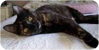 Calico Cat for adoption in Portland, Oregon - Alice