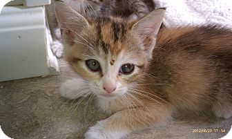 Calico Kitten for adoption in Morgan Hill, California - Precious