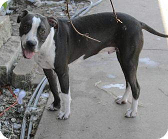 American Pit Bull Terrier Dog for adoption in Copperas Cove, Texas - Chase (fully vetted,sweet, lai