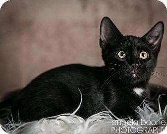 Domestic Shorthair Cat for adoption in Eagan, Minnesota - Luigi