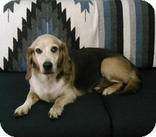 Beagle/Basset Hound Mix Dog for adoption in Wilmington, Massachusetts - Clifford