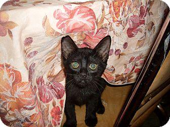 Domestic Shorthair Kitten for adoption in Kirkwood, Delaware - Phoebe