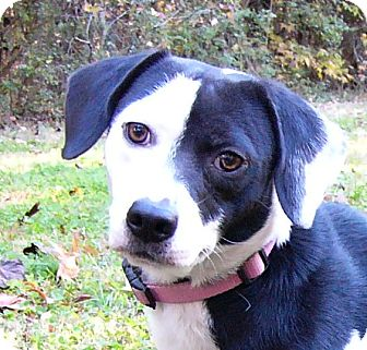 Beagle/Boston Terrier Mix Dog for adoption in Mocksville, North Carolina - Tuesday