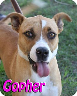 American Pit Bull Terrier/Boxer Mix Dog for adoption in Midland, Texas - Gopher