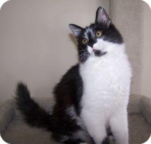Maine Coon Kitten for adoption in Colorado Springs, Colorado - K-MaryG2-Boris