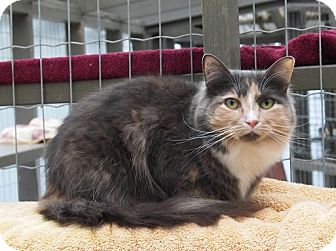 Domestic Mediumhair Cat for adoption in Maple Ridge, British Columbia - Mellie