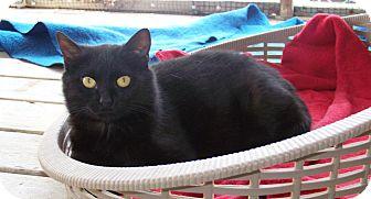 Domestic Shorthair Cat for adoption in Dover, Ohio - Pepper