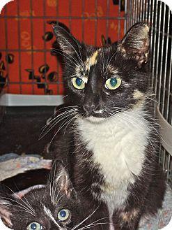 Domestic Shorthair Cat for adoption in Escondido, California - Cherie