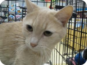 American Shorthair Cat for adoption in New york, New York - Lola