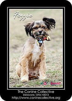 Shih Tzu/Dachshund Mix Dog for adoption in Delaware, Ohio - Fozzie