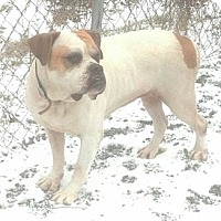 Adopt A Pet :: Cuddles - Brattleboro, VT