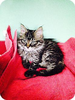 Domestic Mediumhair Kitten for adoption in Cannon Falls, Minnesota - Ivy