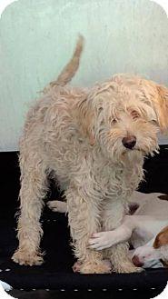 Poodle (Miniature) Mix Dog for adoption in La Canada, California - Madison