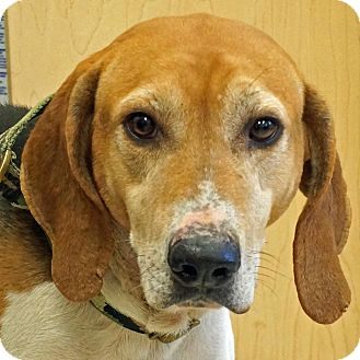 Coonhound Mix Dog for adoption in Sprakers, New York - Hunter