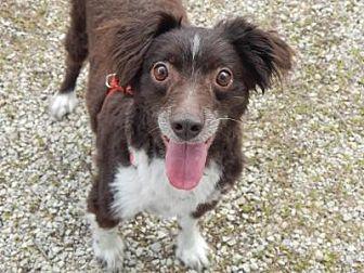 Australian Shepherd Mix Dog for adoption in Holden, Missouri - Jack