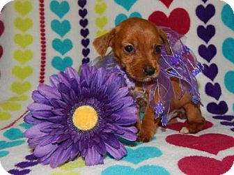 Dachshund Mix Puppy for adoption in Old Fort, North Carolina - Opie