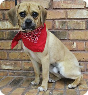 Pug/Beagle Mix Dog for adoption in Benbrook, Texas - George