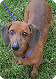 Dachshund Mix Dog for adoption in Fruit Heights, Utah - Copper