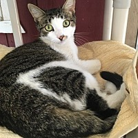 Domestic Shorthair Cat for adoption in Temecula, California - Annie