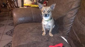 Terrier (Unknown Type, Medium)/Chihuahua Mix Dog for adoption in Pipe Creek, Texas - Clyde
