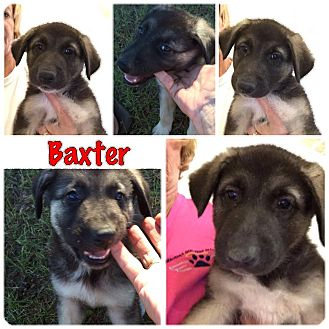 Great Pyrenees/Shepherd (Unknown Type) Mix Puppy for adoption in Folsom, Louisiana - Baxter