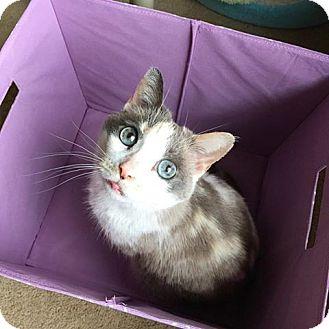 Calico Cat for adoption in Xenia, Ohio - Jersey