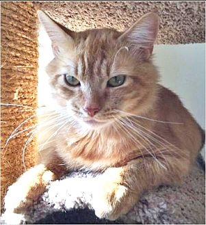 Maine Coon Cat for adoption in Youngsville, North Carolina - Chili