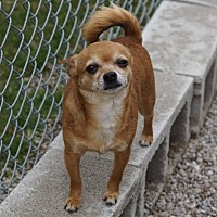 Chihuahua Mix Dog for adoption in Port Clinton, Ohio - MR BROWN