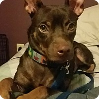 Chihuahua Mix Dog for adoption in kennebunkport, Maine - Rocky - in New England