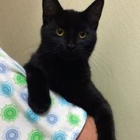 Domestic Shorthair/Domestic Shorthair Mix Cat for adoption in Baraboo, Wisconsin - Milan