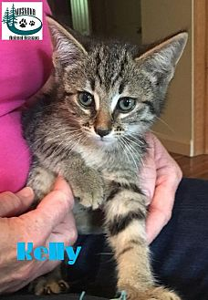 Domestic Shorthair Kitten for adoption in Huntsville, Ontario - Kelly - Cutie Pie!