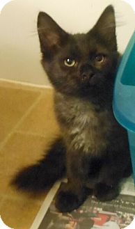 Domestic Shorthair Kitten for adoption in Reston, Virginia - Snickers