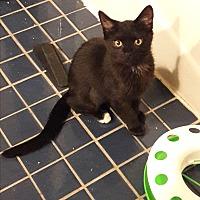 Adopt A Pet :: Tippie Toes - Denver, CO