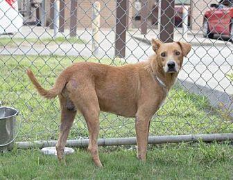 Labrador Retriever Mix Dog for adoption in Houston, Texas - FREDDY