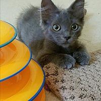 Adopt A Pet :: Gus Girl - Fairfax, VA