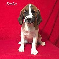 Adopt A Pet :: Sasha - Chester, IL