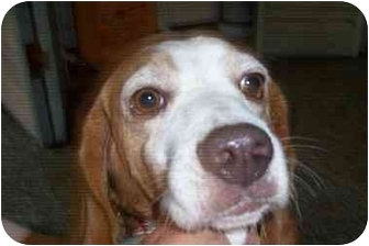 Beagle Mix Dog for adoption in Ventnor City, New Jersey - PENNY 2