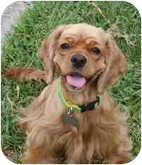 Cocker Spaniel Dog for adoption in Sugarland, Texas - Miley