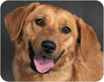 Golden Retriever/Dachshund Mix Dog for adoption in Chicago, Illinois - Clarence