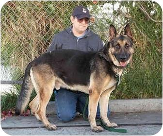 German Shepherd Dog Dog for adoption in Los Angeles, California - Rambo von Rhodes