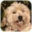 Photo 1 - Westie, West Highland White Terrier/Cockapoo Mix Dog for adoption in El Segundo, California - Maya