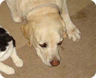 Labrador Retriever Mix Dog for adoption in Golden Valley, Arizona - Chuka