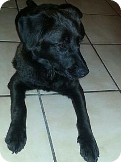 Labrador Retriever/Flat-Coated Retriever Mix Puppy for adoption in hollywood, Florida - tasi