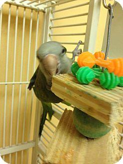 Parakeet - Other for adoption in Punta Gorda, Florida - Popeye